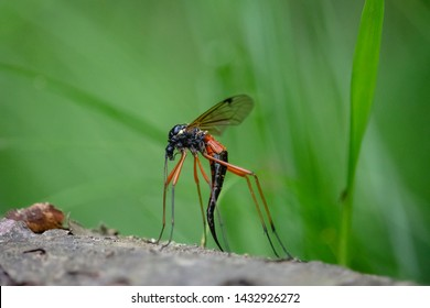 Giant Sabre Comb Horn Cranefly with long black ovipositor. Female Tanyptera atrata with long orange legs and glossy abdomen sitting on the dead tree with green background .
