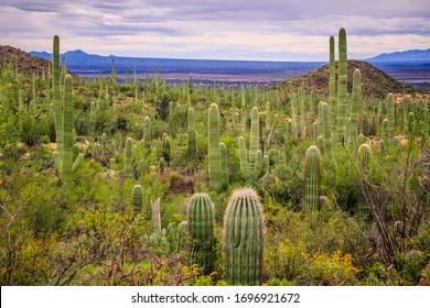 Giant Saguaro Cactus Fields at Saguaro National Park, Arizona