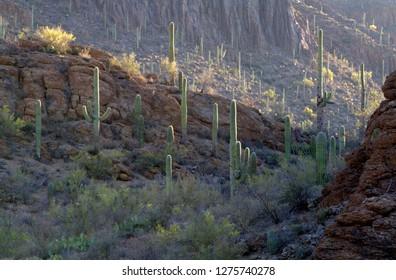 Giant Saguaro (Carnegiea gigantea), Saguaro National Park, Sonora Desert, Arizona, Tucson, USA.
