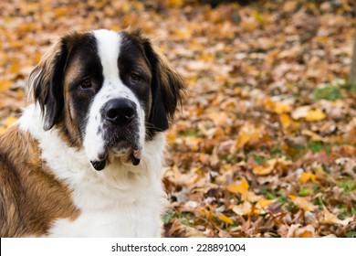 A giant Saint Bernard dog lays on grass surround by fallen leaves.