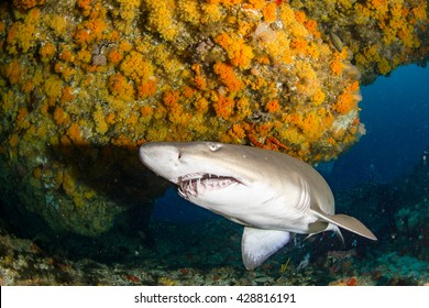 Giant sandtiger shark swims in an cav