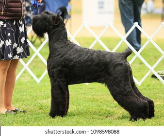 Giant Schnauzer showing at AKC dog show