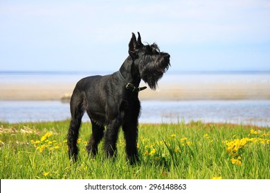 Giant Schnauzer standing on the grass