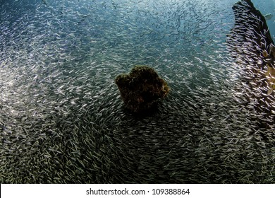 Giant school of minnows on the wreck of the Benwood in Key Largo, Florida. Bait ball of minnows inside the John Pennekamp State Park. Food for various fish.