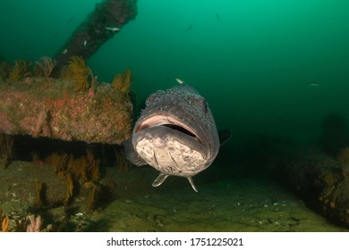 Giant Sea Bass, Stereolepis gigas at Hermosa Beach Artificial Reef