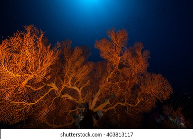 Giant Sea fan