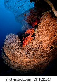 Giant Sea Fan Coral(Annella mollis) Taking in Red Sea, Egypt.