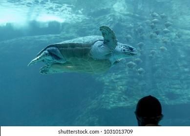 Giant sea turtle in the aquarium.