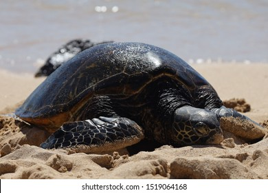 Giant sea turtles and big close ups in Kahuku beach at Oahu Hawaii