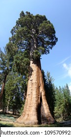 Giant Sequioa tree in the Sequoia National Park in California, USA