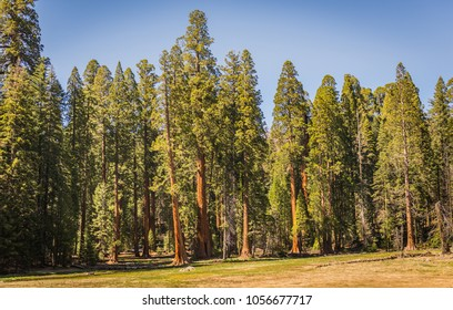 Giant Sequoia Forest (Redwoods) at the Round Meadow in the Giant Forest Grove in the Sequoia National Park, California (USA)