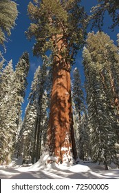 The Giant Sequoia General Sherman Tree in winter