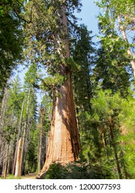 A giant sequoia at Mariposa Grove during summer, Yosemite National Park, California, USA