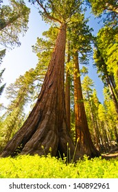 A giant sequoia at Mariposa Grove, Yosemite National Park.