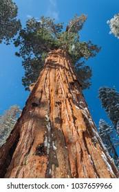 Giant Sequoia in Sequoia National Park, California, USA