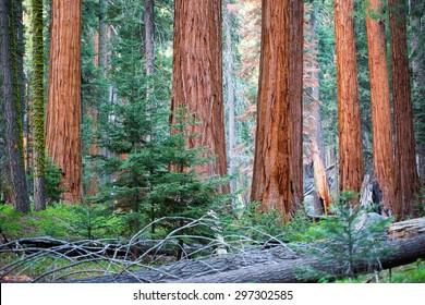 Giant Sequoia redwood trees in Sequoia national park, Sierra Nevada, California
