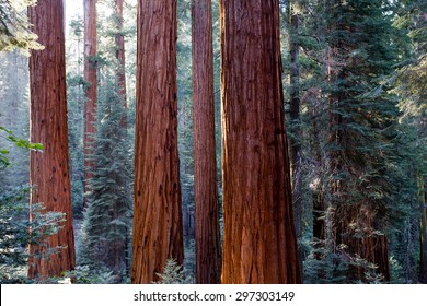 Giant Sequoia redwood trees in Sequoia national park, Sierra Nevada, California