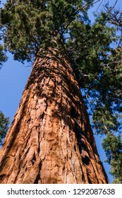 Giant Sequoia tree, Sequoia Park, California, USA