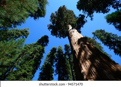 giant sequoia tree rise against blue sky