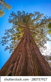 Giant sequoia tree in Yosemite National Park, California, USA.  Looking up.