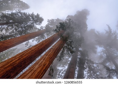 Giant Sequoia treens in the fog
