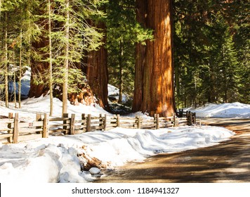 Giant Sequoia Trees in Kings Canyon. Sequoia National Park. Winter Landscape