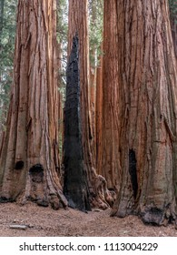Giant sequoia trees in Sequoia National Park, California. Details of the trees, their bark and their environment