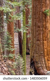 Giant sequoia trees in Sequoia National Park, California, USA.