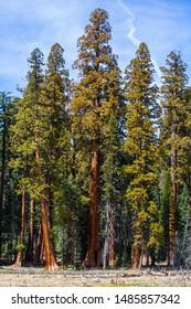 Giant sequoia trees in Sequoia National Park, California, USA.