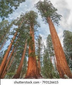 Giant Sequoia Trees ( Sequoiadendron giganteum), in Sequoia National Park during the winter, USA