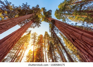 Giant Sequoias Forest. Sequoia National Park in California Sierra Nevada Mountains, USA.