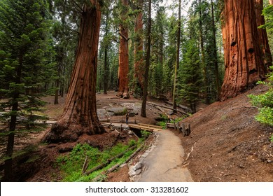 Giant Sequoias Forest. Sequoia National Forest in California Sierra Nevada Mountains