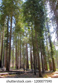 Giant sequoias at Mariposa Grove during summer, Yosemite National Park, California, USA