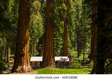 Giant Sequoias at Mariposa grove, Yosemite, California.