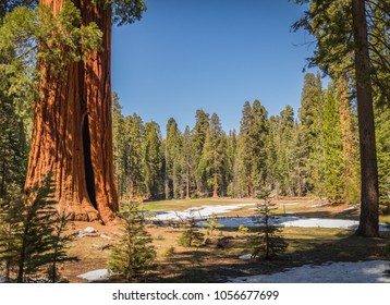 Giant Sequoias (Redwoods) 'Ed by Ned' at the Round Meadow in the Giant Forest Grove in the Sequoia National Park