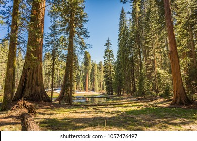 Giant Sequoias (Redwoods) at the Round Meadow in the Giant Forest Grove in the Sequoia National Park