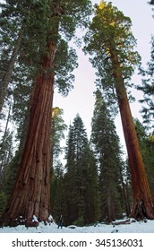 Giant sequoias at Sequoia National Park