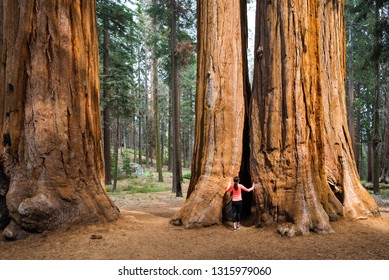 Giant Sequoias (Sequoiadendron Giganteum) - Parker Group, Sequoia National Park. A girl-runner takes energy and admires huge, old, healthy trees in magical forest. Meditation, yoga, health concepts