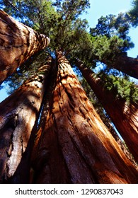 Giant Sequoias trying to reach the sky in Sequoias National Park, California, USA.
