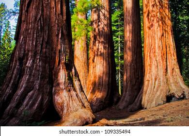Giant Sequoias in Yosemite National Park