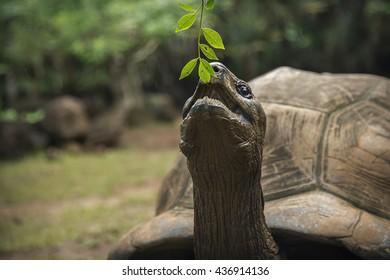 Giant Seychelles tortoise feeding in Vanille Reserve park, Mauritius.