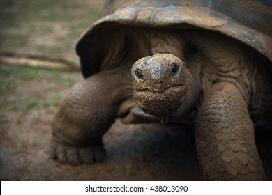 Giant Seychelles  tortoise gazing in Vanille Reserve park. (Mauritius)