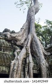 Giant Silk Cotton Tree in Ta Prohm