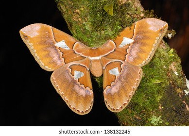 Giant Silkmoth (Rothschildia triloba) in the Costa Rica rainforest