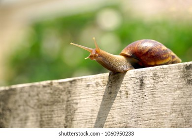 Giant snail (Scutalus, Achatina fulica.) crawling on concrete wall in the afternoon. They have a coiled shell to protect body and Slime can made Nourishing cream. Natural animal. Slow life concept.