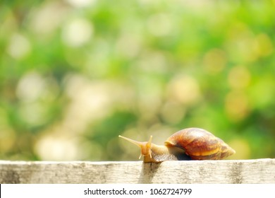 Giant snail (Scutalus, Achatina fulica.) crawling on concrete wall to find some food. They have a coiled shell to protect body and Slime can made Nourishing cream. Natural animal. Slow life concept.