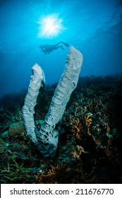 The giant sponge Petrosia lignosa Salvador dali juvenile in Gorontalo, Indonesia underwater photo. Salvador dali sponge is native to Gorontalo.