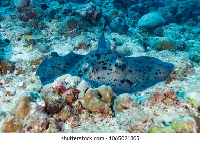 Giant spotted, stingray, Taeniurops meyeni, swimming on coral reef
