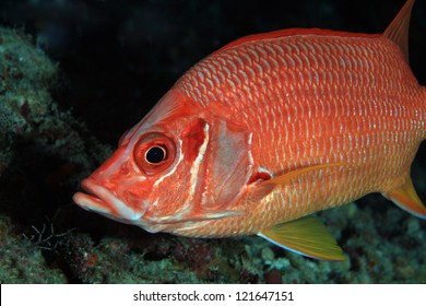 Giant Squirrelfish in the coral reef