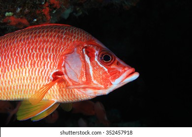 Giant Squirrelfish (Sargocentron spiniferum), in the tropical coral reef of the indian ocean